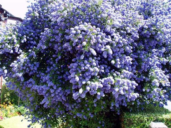 向大家介绍一种漂亮的蓝色花卉——美洲茶(多图)
