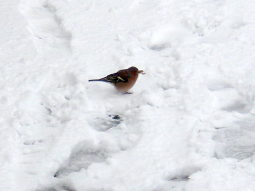 chaffinch-in-snow.jpg