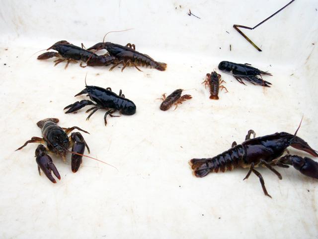 crayfish_1.jpg