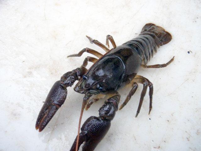crayfish_3.jpg