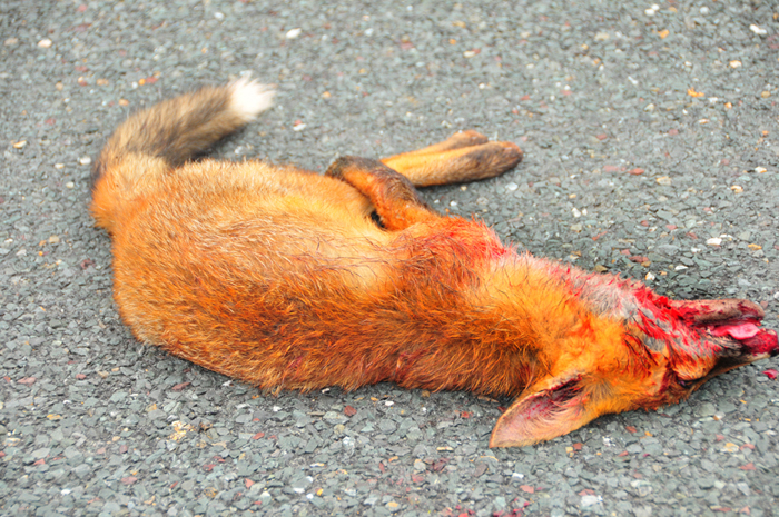 Fox_by_Alison_Laredo_1.jpg