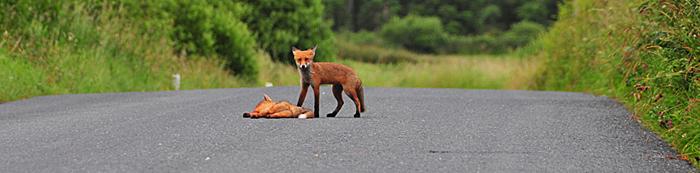 Fox_by_Alison_Laredo_12.jpg