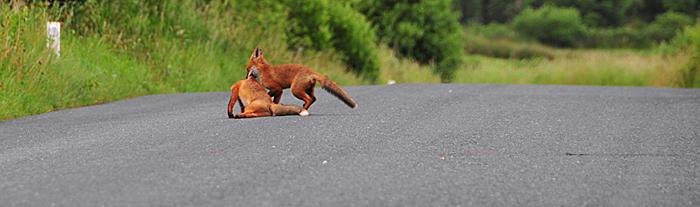 Fox_by_Alison_Laredo_14.jpg