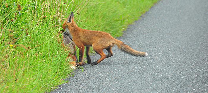Fox_by_Alison_Laredo_28.jpg