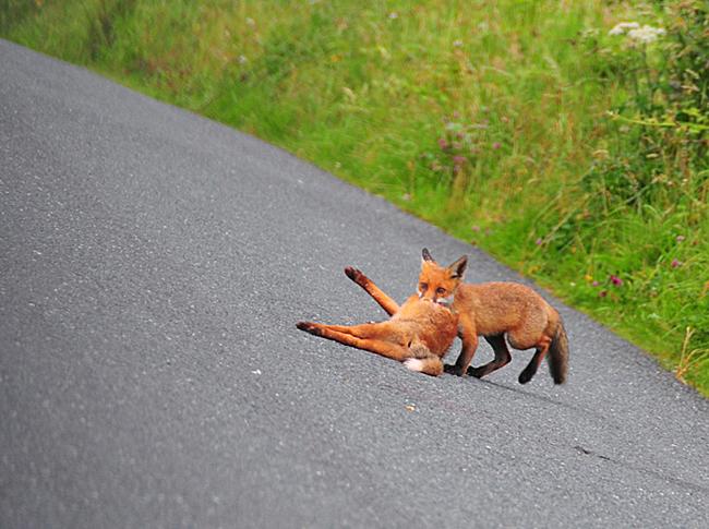 Fox_by_Alison_Laredo_4.jpg