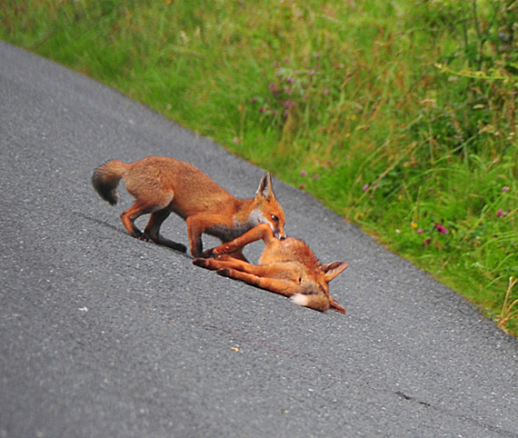 Fox_by_Alison_Laredo_7.jpg