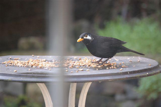 SM_Garden_Birds_0082.JPG