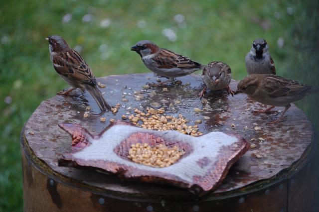 SM_Garden_Birds_0108.JPG