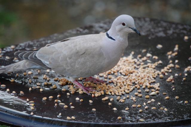 SM_Garden_Birds_0145.JPG