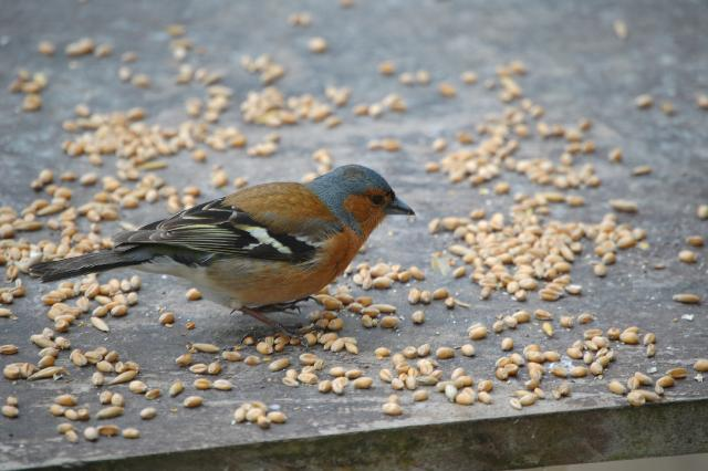 SM_Garden_Birds_0167.JPG