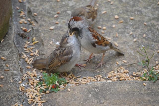SM_Garden_Birds_0173.JPG
