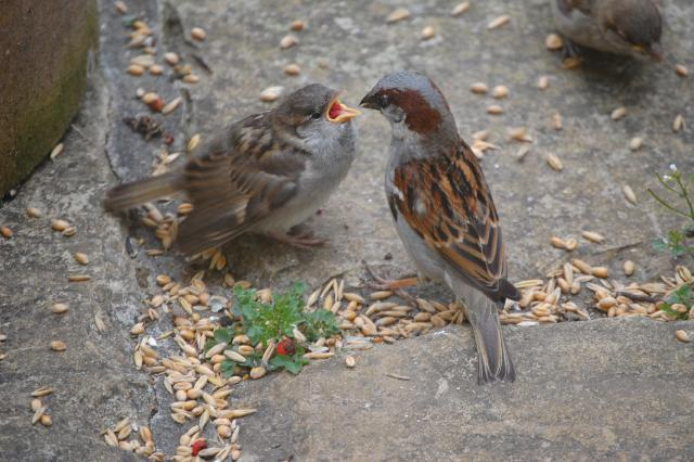 SM_Garden_Birds_0175.JPG