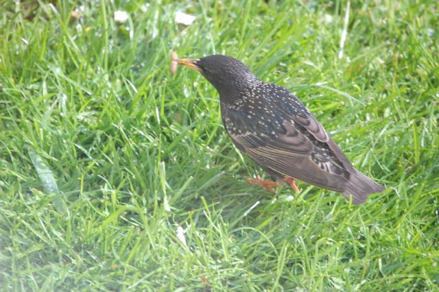 SM_Garden_Birds_0196.JPG