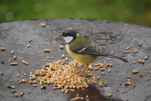 SM_Garden_Birds_0201.JPG