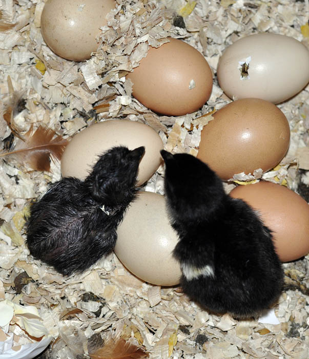 chicks_by_Alison_Laredo_10.jpg