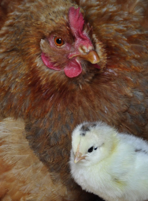 chicks_by_Alison_Laredo_11.jpg
