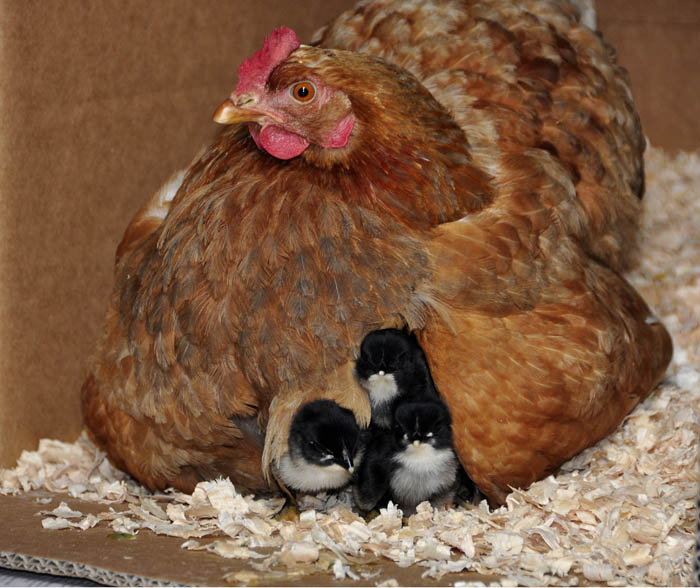 chicks_by_Alison_Laredo_14.jpg
