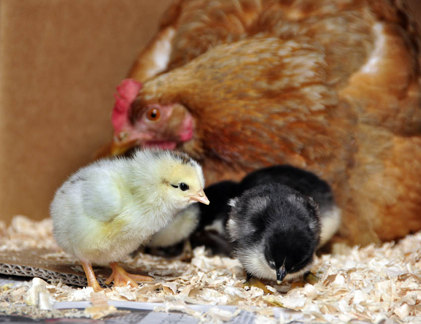 chicks_by_Alison_Laredo_4.jpg