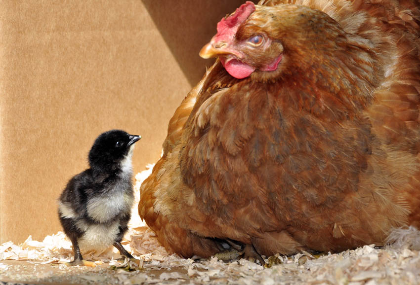 chicks_by_Alison_Laredo_5.jpg
