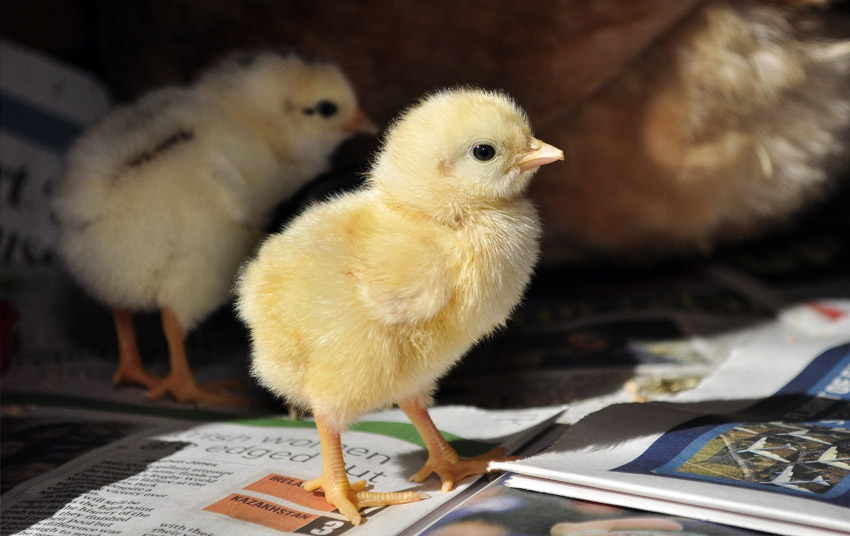 chicks_by_Alison_Laredo_7.jpg