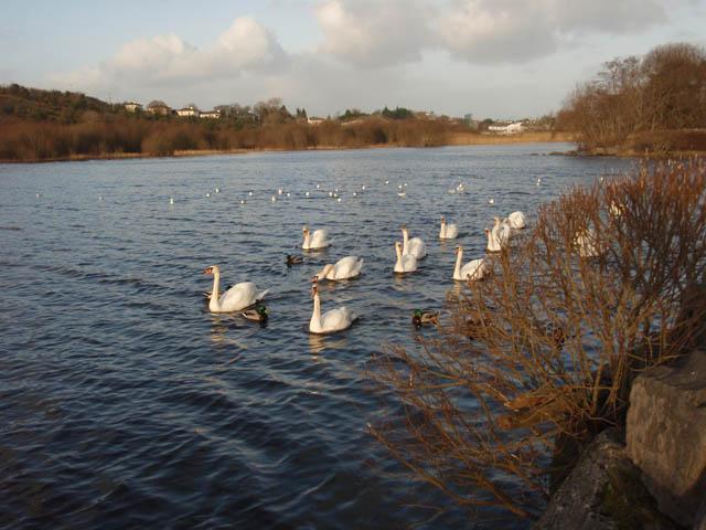 lannagh_swans_P1059145.jpg