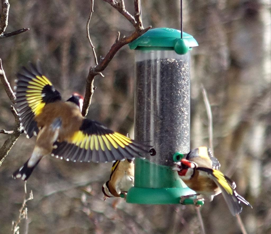 goldfinches-1024-DSC06673.jpg