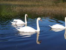 The Swans are back on Lough Lannagh! Check out the photographs from Pat Griffin taken last week.