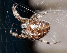 Returning again - after an absence - Dalemedia has some web-friendly photos of arachnids in the garden - Garden Spiders in other words. Click photo to spin out the web metaphor.