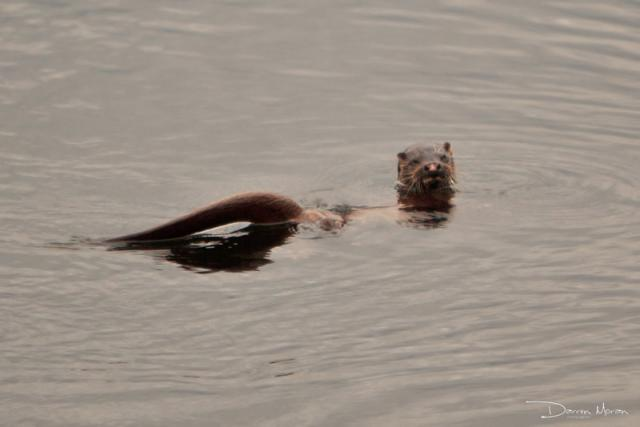 Darren Moran spotted this otter on the Greenway. Click on photo for more.